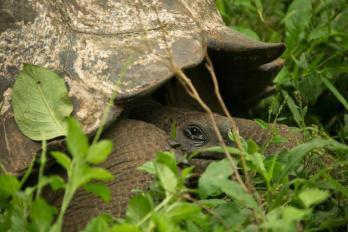 Galápagos giant tortoise, El Manzanillo, Santa Cruz Island