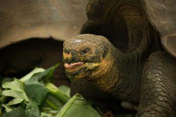 Galápagos giant tortoise, La Galapagera, San Cristobal Island