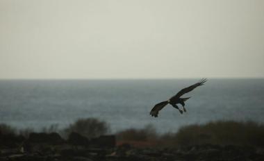 Galápagos hawk, Punta Suarez, Española Island