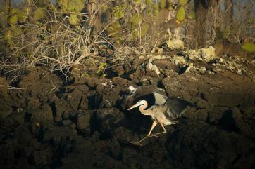 Great blue heron, Islote Eden