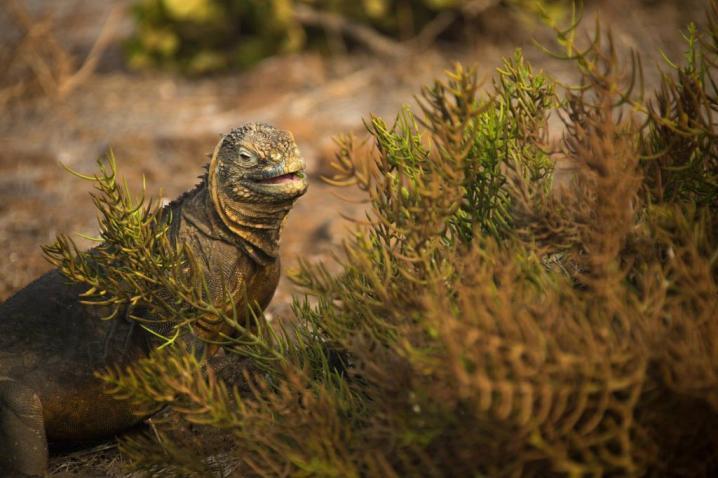 Land iguana, Seymour Norte Island