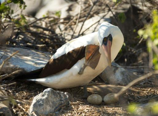 Nazca boobie with eggs, Punta Suarez, Española Island
