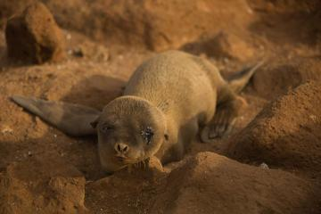 Sea lion pup, Seymour Norte Island