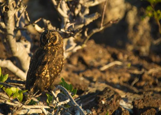 Short-eared owl, El Barranco, Genovesa Island 2