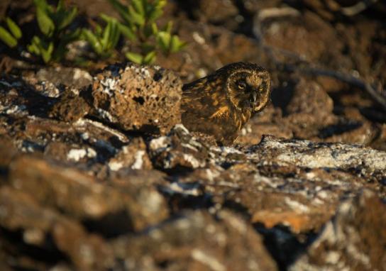Short-eared owl, El Barranco, Genovesa Island