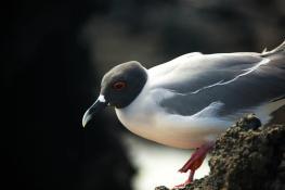 Swallow-tailed gull, Bahia Darwin, Genovesa Island