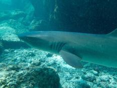 White-tipped reef shark, Bahia Darwin, Española Island