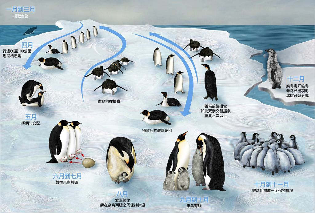 Emperor Penguin Lifecycle