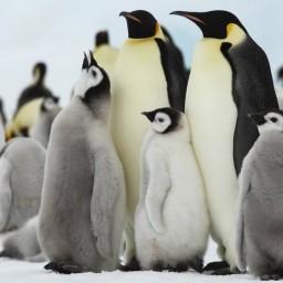 夢幻南極任務:尋找帝王企鵝